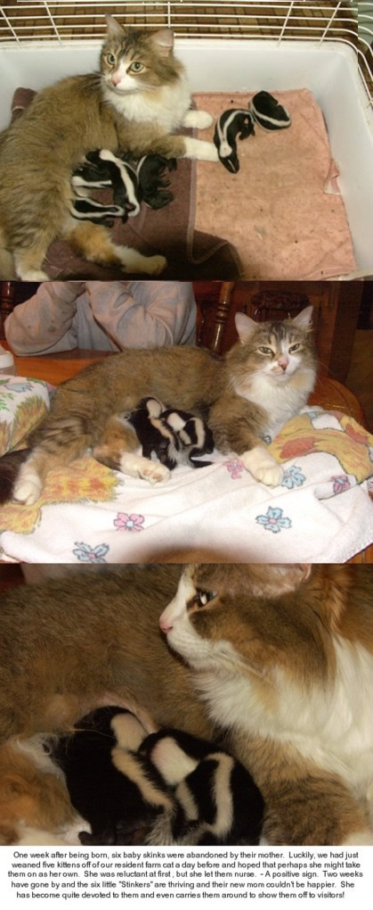 Funny Picture - Baby Skunks And Momma Cat