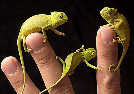 Funny Picture - Baby Chameleons