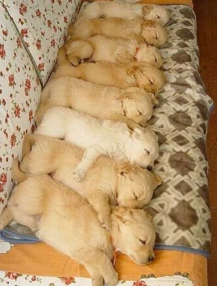 Funny Picture - Puppy Stack