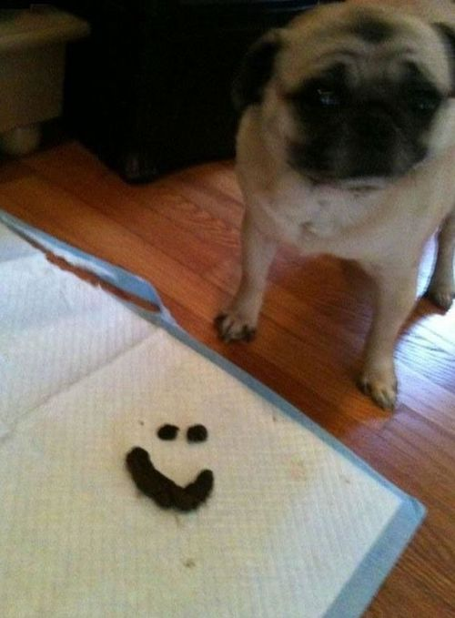 Funny Picture - Pug Communication