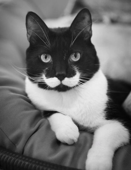 Funny Picture - Cat Stache